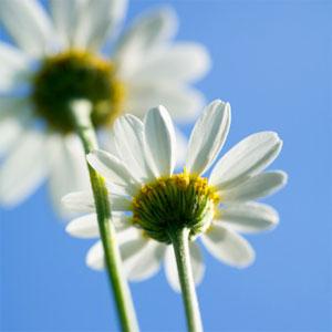Fiori per amicizia regalo fiori per amicizia il fiore che for Potatura margherite