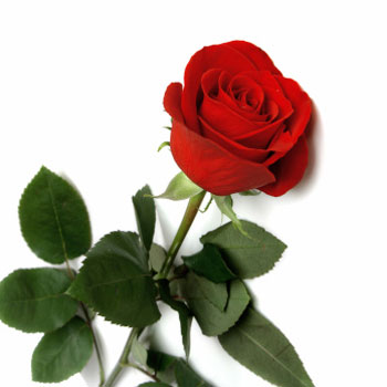 rosa-rosso-fuoco_166.jpg