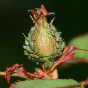 Insetti acari piante fiori for Rose piante
