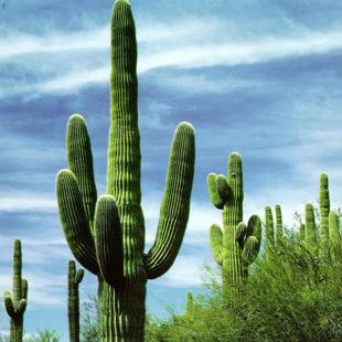 Invia cactus piante grasse a domicilio for Pianta cactus