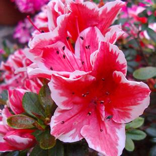 Fiore del rododendro consegna fiori domicilio for Rododendro pianta