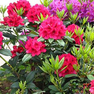 Fiore del rododendro consegna fiori domicilio for Cura azalea