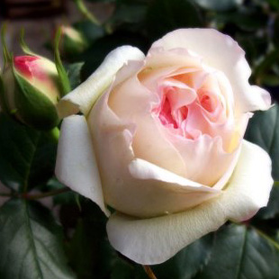 Invia rose consegna rose a domicilio for Potatura delle rose