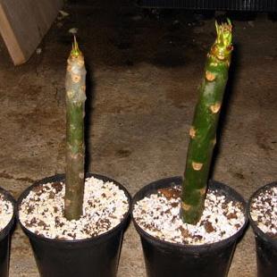 Il metodo di proliferazione delle piante per talea for Riproduzione rose