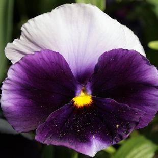 Invia fiore viola for Pianta fiori viola